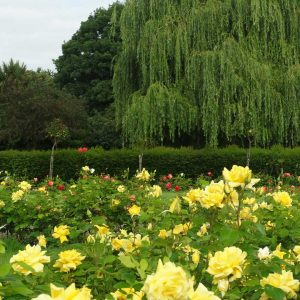 Willow tree and roses